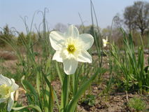 Schoonheidsbloesems van Pasen-de narcissenlentes Royalty-vrije Stock Fotografie