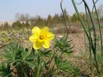 Schoonheidsbloesems van Pasen-de narcissenlentes in botanische tuin Royalty-vrije Stock Fotografie