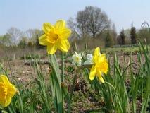 Schoonheidsbloesems van Pasen-de narcissenlentes in botanische tuin Stock Fotografie
