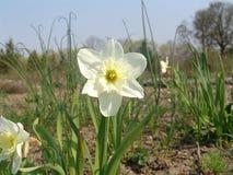 Schoonheidsbloesems van Pasen-de narcissenlentes in botanische tuin Royalty-vrije Stock Afbeelding