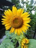 Schoonheidszonnebloemen stock afbeeldingen