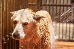 Schoonmakende herdershond stock afbeelding
