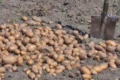 Schop en aardappelgewas in de tuin Royalty-vrije Stock Foto's