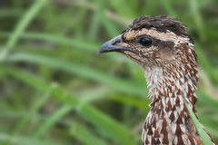 Schopffrankolinporträt in Kruger-Park lizenzfreie stockfotos
