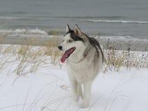 Schor, Bos, Letland, de winter, sneeuw, Sneeuwhond stock fotografie