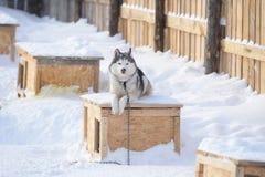 Schor - de eigenaar van een hondcabine Stock Fotografie