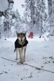 Schor dragende honddeken stock foto