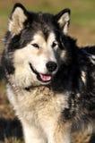 Schor Hond Royalty-vrije Stock Afbeeldingen