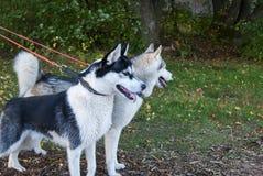 Schor hond buiten op leiband het lopen Stock Foto's