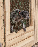 Schor hond Siberisch dier Royalty-vrije Stock Foto