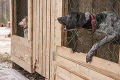 Schor hond Siberisch dier Stock Foto