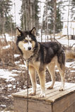 Schor hond Siberisch dier Royalty-vrije Stock Afbeelding