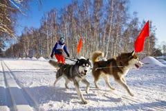 Schor hond in uitrusting die de sneeuw doornemen Royalty-vrije Stock Foto's
