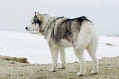 Schor hond in wildernis stock afbeeldingen
