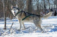 Schor honden Stock Foto's