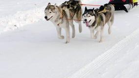 Schor honden in uitrusting met mensen in slee stock footage