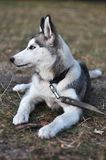 Schor jonge hond Stock Foto