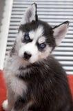 Schor puppy Royalty-vrije Stock Foto