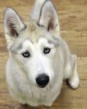 Schor puppy Stock Afbeeldingen