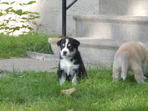 Schor puppy Stock Afbeelding
