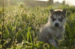 Schor puppy met verschillende ogen Stock Afbeelding