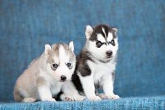 Schor puppy op een blauwe achtergrond Royalty-vrije Stock Fotografie