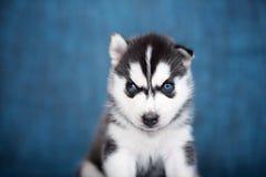 Schor puppy op een blauwe achtergrond Stock Foto