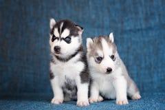 Schor puppy op een blauwe achtergrond Royalty-vrije Stock Foto's