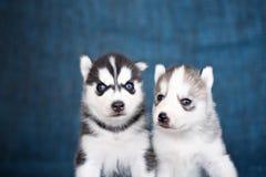 Schor puppy op een blauwe achtergrond Royalty-vrije Stock Foto