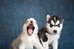 Schor puppy op een blauwe achtergrond Stock Afbeeldingen