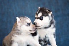 Schor puppy op een blauwe achtergrond Royalty-vrije Stock Afbeelding