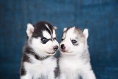 Schor puppy op een blauwe achtergrond Royalty-vrije Stock Afbeeldingen