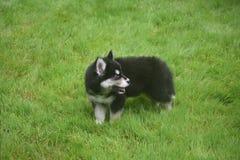 Schor puppy spelen het van Alaska op een gebied van gras Royalty-vrije Stock Foto's