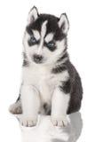 Schor puppyportret - Stock Foto