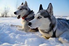 Schor slee in de sneeuw stock fotografie