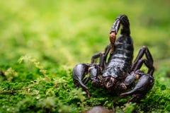 Schorpioen in aard Stock Afbeeldingen