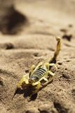 Schorpioen op woestijnzand Stock Afbeelding
