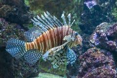 Schorpioenvissen in een aquarium royalty-vrije stock fotografie