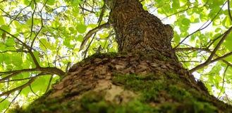Schors, boomboomstam Foto van een oude boom in een groen bos royalty-vrije stock afbeelding