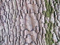 Schors eiken structuur op een heldere dag Royalty-vrije Stock Foto