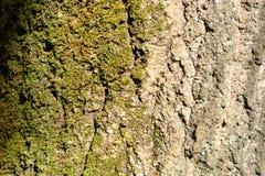 Schors met mos Witte houten textuur met losse barsten en puppy stock afbeelding