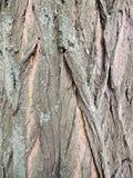 Schors op valse acacia & x28; Robinia pseudoacacia& x29; Stock Afbeelding