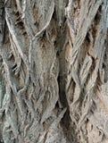 Schors op valse acacia & x28; Robinia pseudoacacia& x29; Royalty-vrije Stock Afbeelding