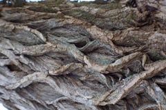 Schors van cottonwoodboom Stock Foto