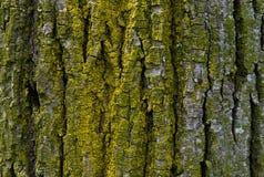 Schors van de achtergrond van de boomtextuur Stock Afbeeldingen