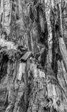 Schors van de de Californische sequoiaboom van de detailschil de Reuze na Brandwond in Zwarte en W stock afbeelding