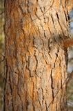 Schors van de pijnboom-boom Royalty-vrije Stock Foto's