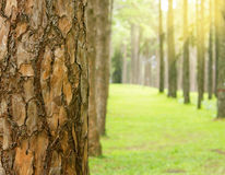 Schors van de pijnboom de bos Dichte omhooggaande pijnboom met ondiepe dof Stock Foto