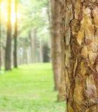 Schors van de pijnboom de bos Dichte omhooggaande pijnboom met ondiepe dof Royalty-vrije Stock Afbeeldingen