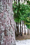 Schors van de pijnboom de bos Dichte omhooggaande pijnboom met ondiepe dof Royalty-vrije Stock Foto's